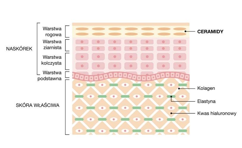 Ceramidy stanowią główny składnik budulcowy naskórka