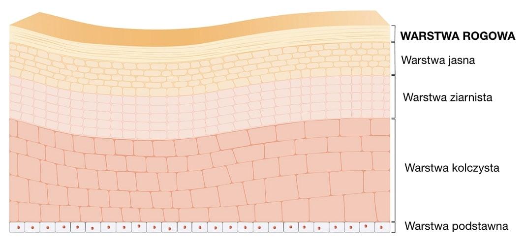 Warstwa rogowa jest najbardziej zewnętrzną warstwą naskórka zbudowaną ze zrogowaciałych (martwych) komórek