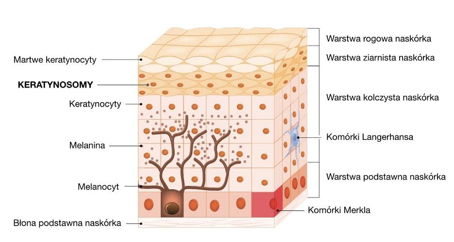 Keratynosomy to komórki warstwy ziarnistej naskórka
