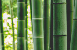 bambus-main
