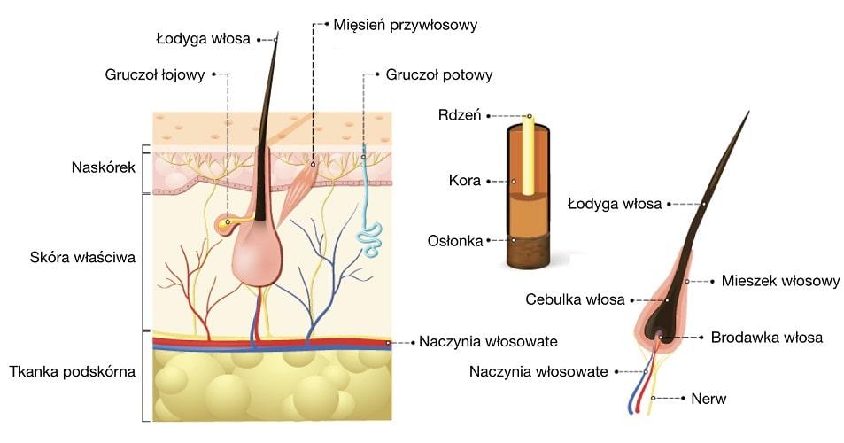 Włos jest zbudowany z korzenia i łodygi