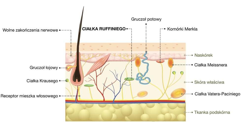 Ciałka Ruffiniego odbierają nie tylko bodźce w postaci ciepła, ale też dotyku i ucisku