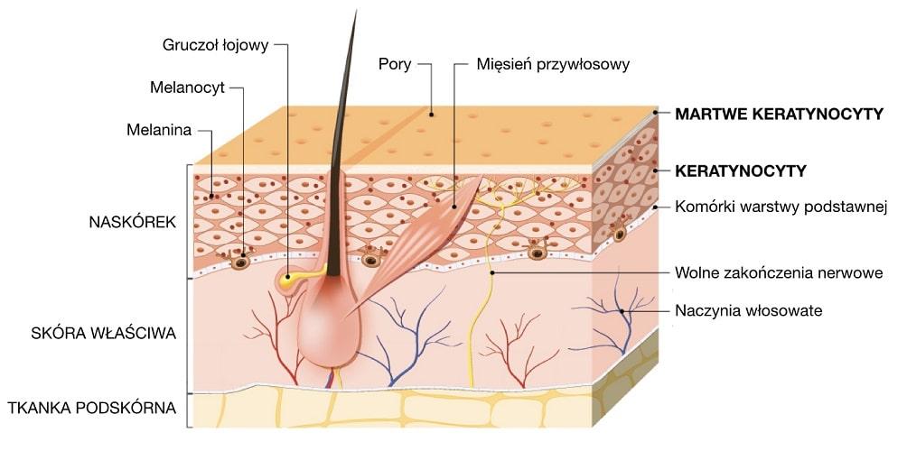 Keratynocyty to komórki budujące naskórek