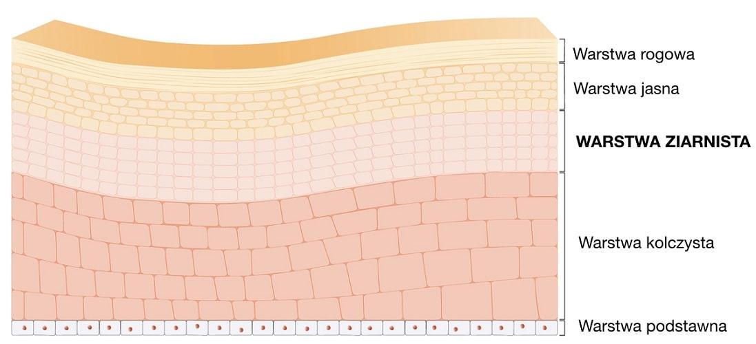 Warstwa ziarnista jest jedną z warstw tworzących naskórek