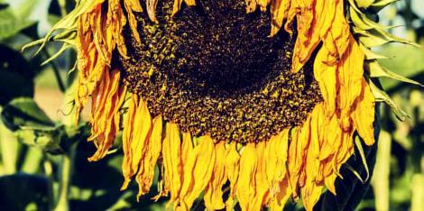 Olej słonecznikowy w kosmetyce - sprawdź jego właściwości!