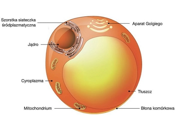 Tkanka tłuszczowa magazynuje energię i izoluje organizm