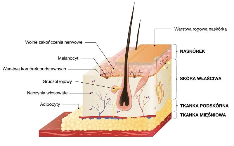 Skóra składa się z trzech warstw: naskórka, skóry właściwej i tkanki podskórnej