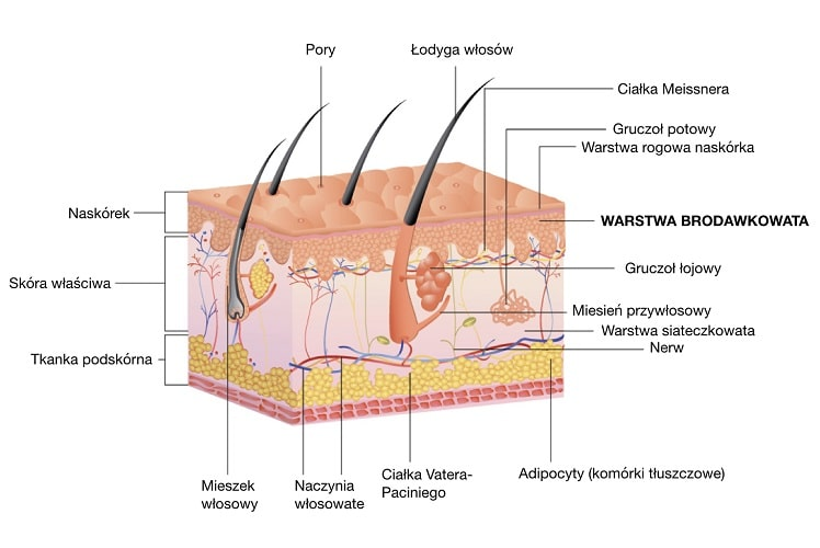 Brodawki skórne znajdują się w warstwie brodawkowatej skóry