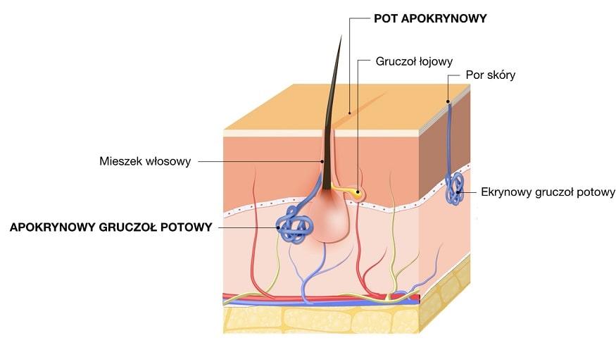 Pot apokrynowy wydzielany przez apokrynowe gruczoły potowe, np. pod pachami
