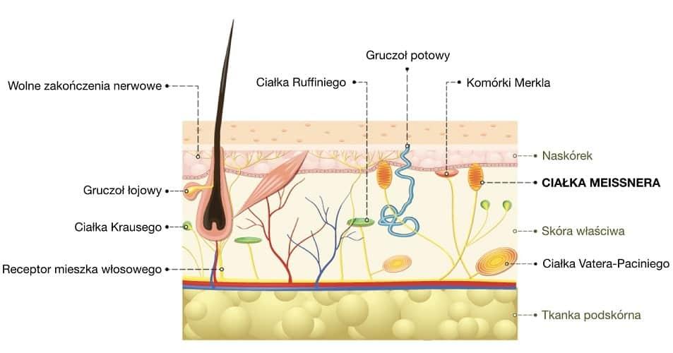 Ciałka Meissnera reagują na delikatny dotyk skóry