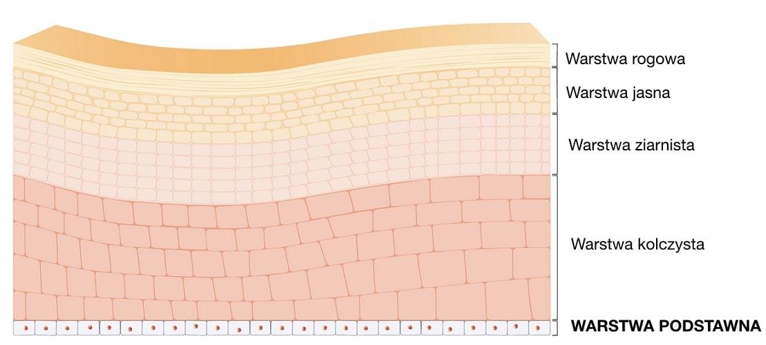 Warstwa podstawna jest najgłębiej położoną warstwą naskórka