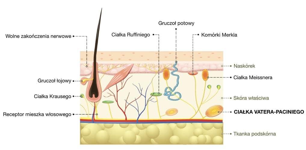 Ciałka Vatera-Paciniego to najgłębiej położone w skórze receptory dotyku i silnego ucisku