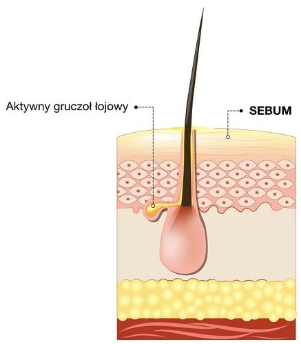 Sebum jest produkowane przez gruczoły łojowe