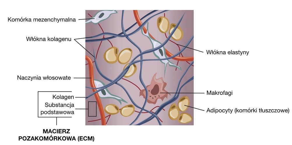 Macierz pozakomórkową tworzą przede wszystkim włókna kolagenowe i elastynowe.