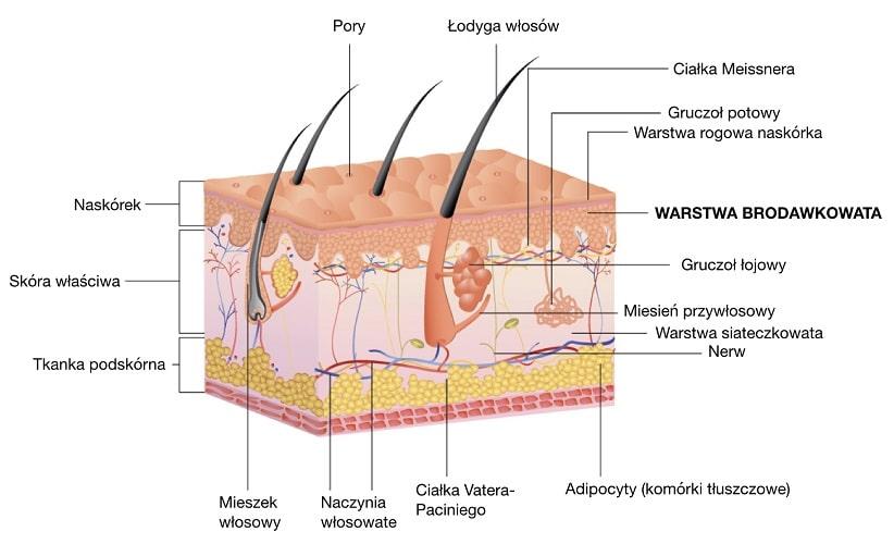 Warstwa brodawkowata jest pofalowana, łączy skórę właściwą  z naskórkiem