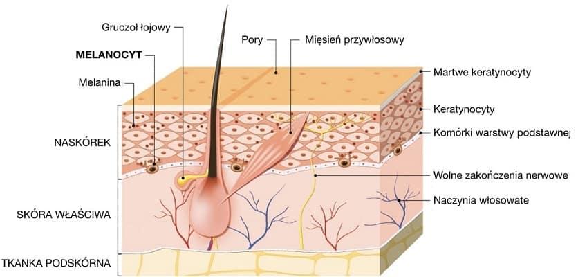 Melanocyty produkują melaninę, barwnik obecny w skórze