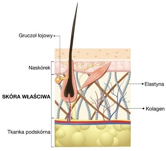 Skóra właściwa zbudowana jest z włókien kolagenowych i elastynowych