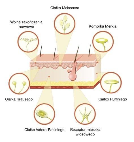 W skórze znajdują się receptory odpowiedzialne za odbieranie bodźców z otoczenia