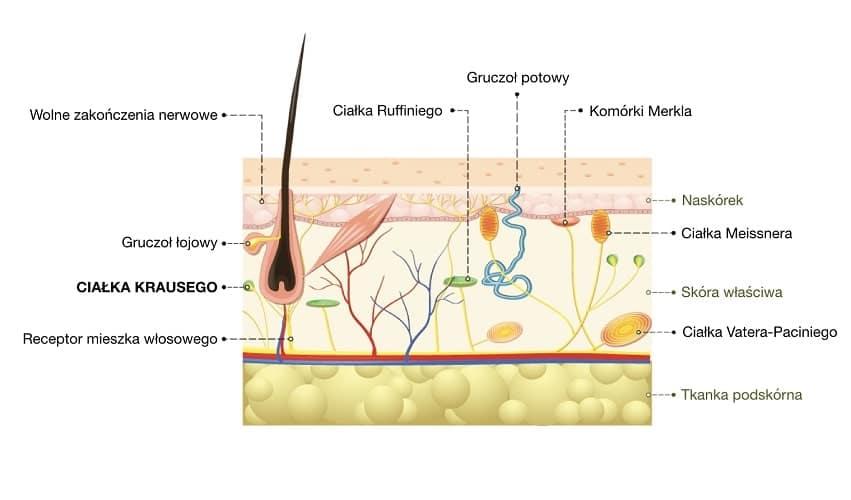 Ciałka Krausego to receptory zimna, położone tuż pod naskórkiem