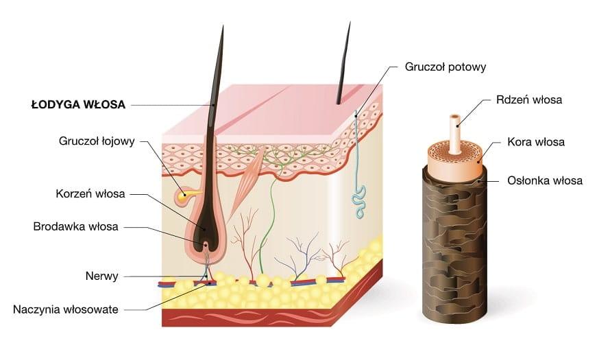 Łodyga włosa jest zbudowana z trzech warstw.