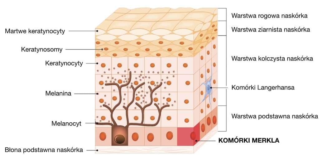 Komórki Merkla znajdują się w warstwie podstawnej naskórka i odbierają bodźce czuciowe