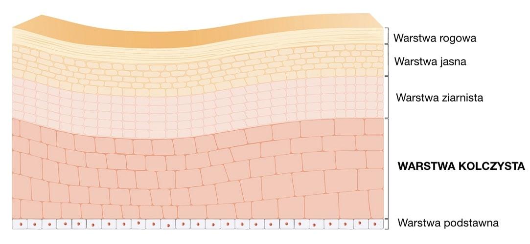 Warstwa kolczysta jest jedną z warstw tworzących naskórek