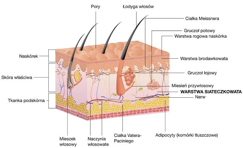 Warstwa siateczkowata jest jedną z dwóch warstw skóry właściwej, obok warstwy podstawnej