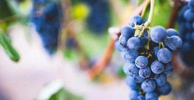 Czerwone winogrona są bogatym źródłem polifenoli