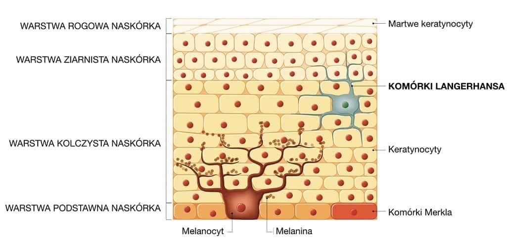 Komórki Langerhansa to podstawowe komórki odpornościowe obecne w skórze
