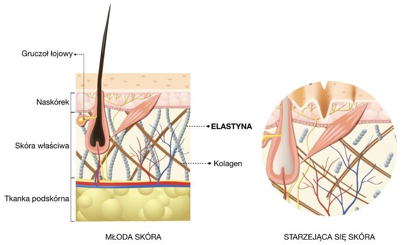 Włókna elastynowe zawsze występują w otoczeniu włókien kolagenowych.