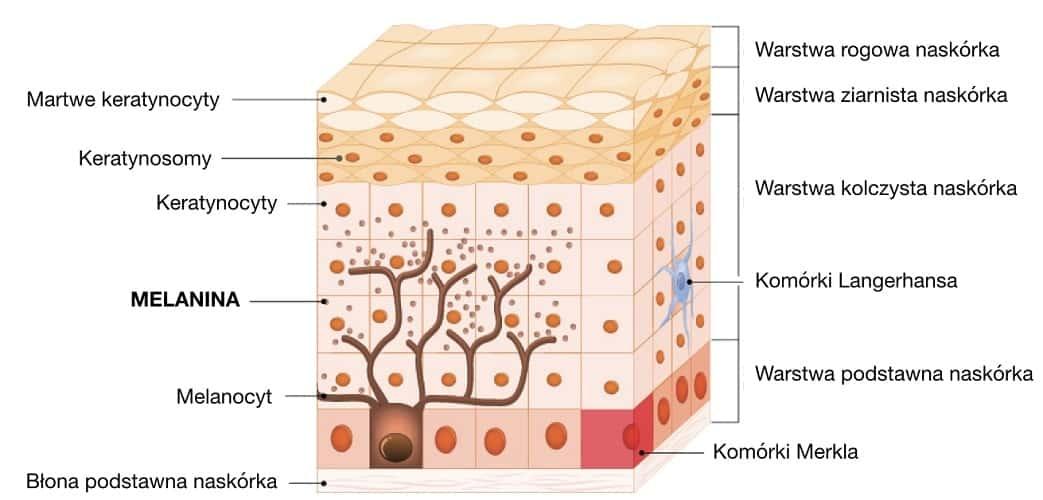 Melanina jest produkowana w skórze przez melanocyty