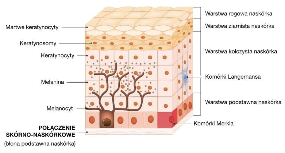 Połączenie skórno-naskórkowe łączy naskórek ze skórą właściwą, tworzy pofałdowania